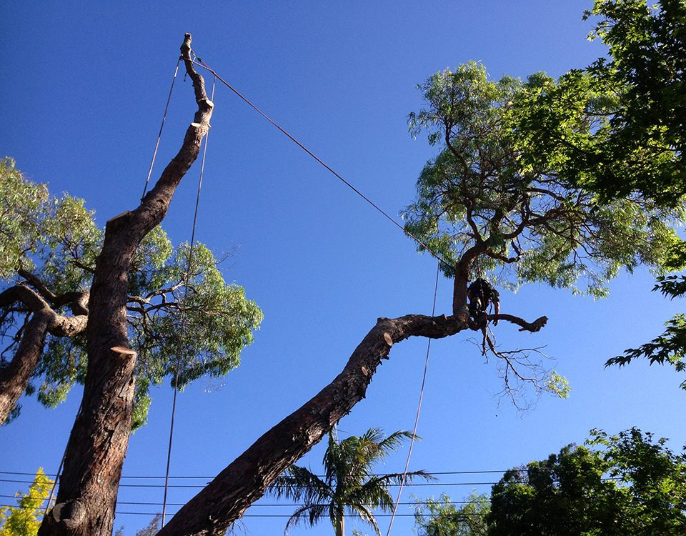 Tree Maintenance Services in Sydney