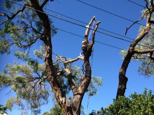 Affordable Tree Lopping Services Bow Bowing