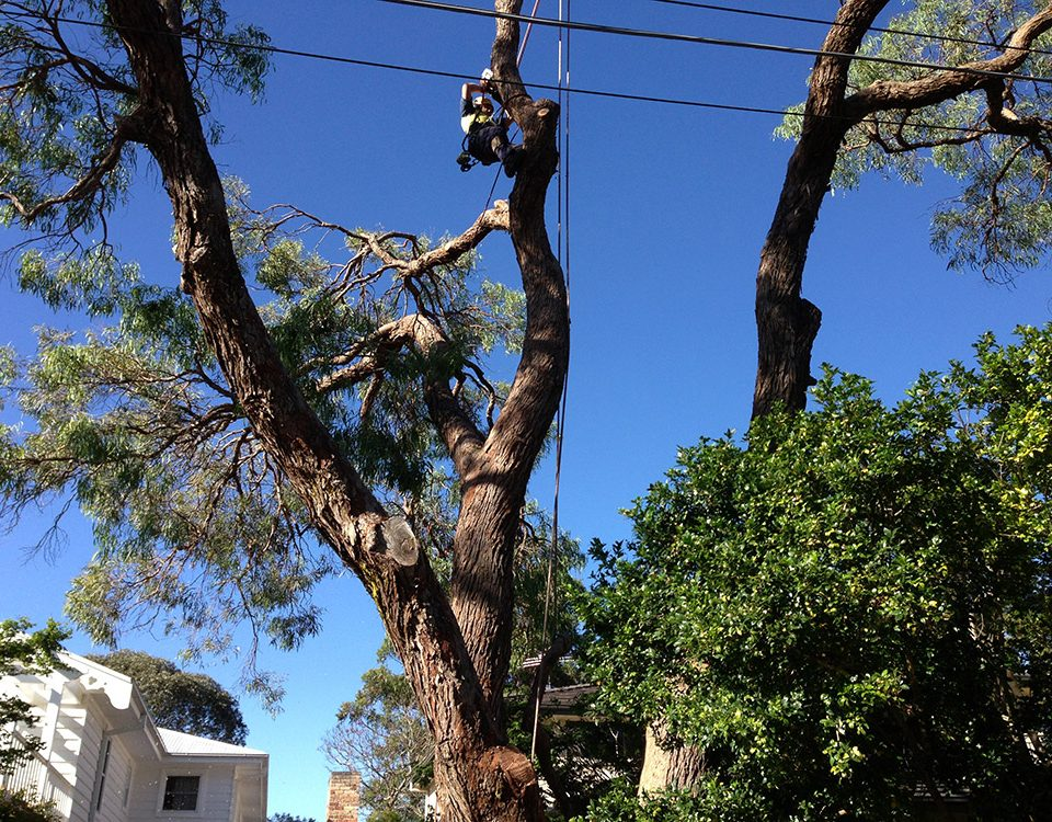 Tree lopping Services in Sydney